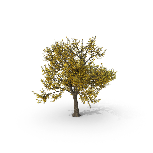 Fall Ash Tree PNG Images & PSDs for Download.