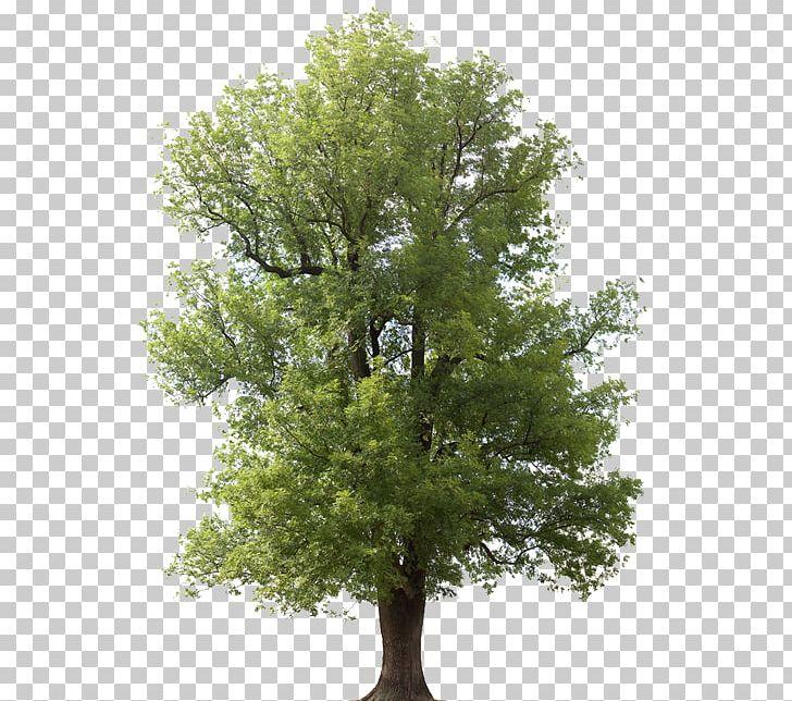 Fraxinus Americana Emerald Ash Borer Tree Arborist Juglans PNG.