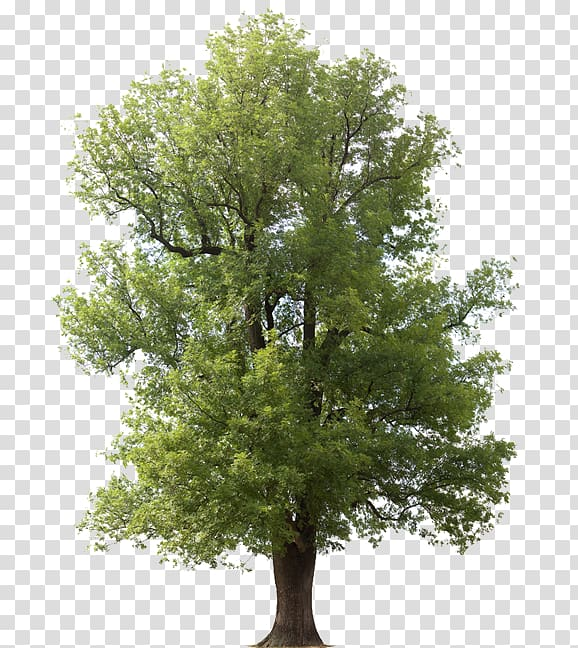Fraxinus americana Emerald ash borer Tree Arborist Juglans.