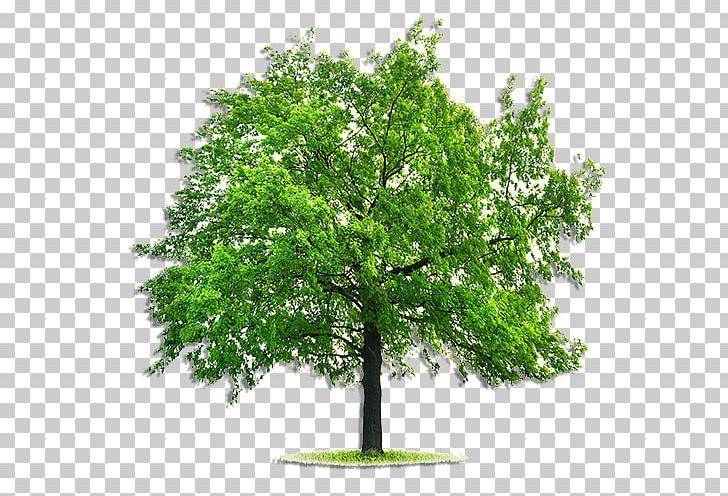 Emerald Ash Borer Tree Fraxinus Pennsylvanica Deciduous.