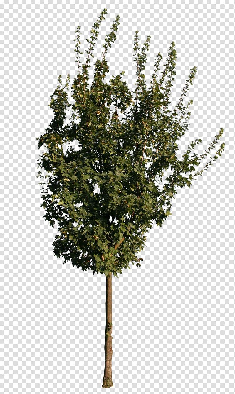 Twig European ash Tree Oak Sugar maple, tree transparent.