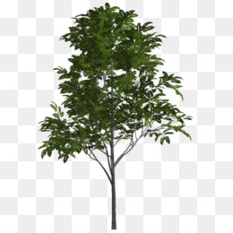 Ash Tree PNG and Ash Tree Transparent Clipart Free Download..