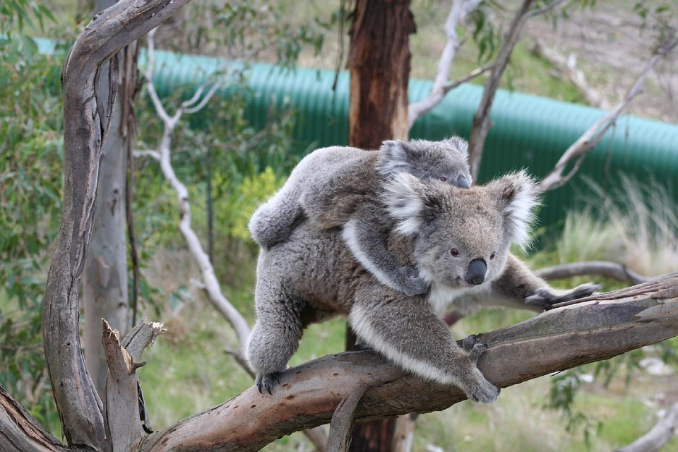 Free photo Tree Young Mother Sitting Bears Joey Koala.