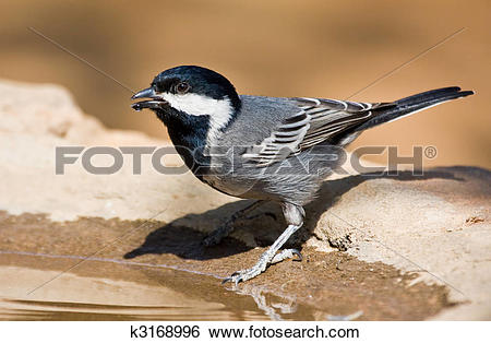 Stock Images of Ashy tit k3168996.