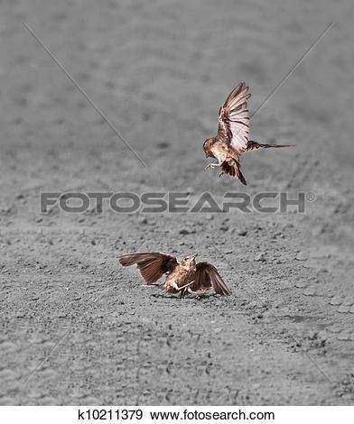 Stock Photograph of Birds Ashy.