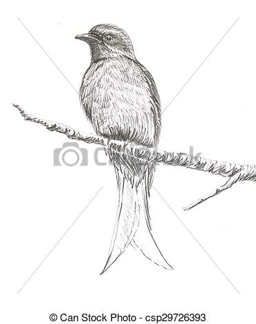 Picture of Ashy Drongo bird drawing.