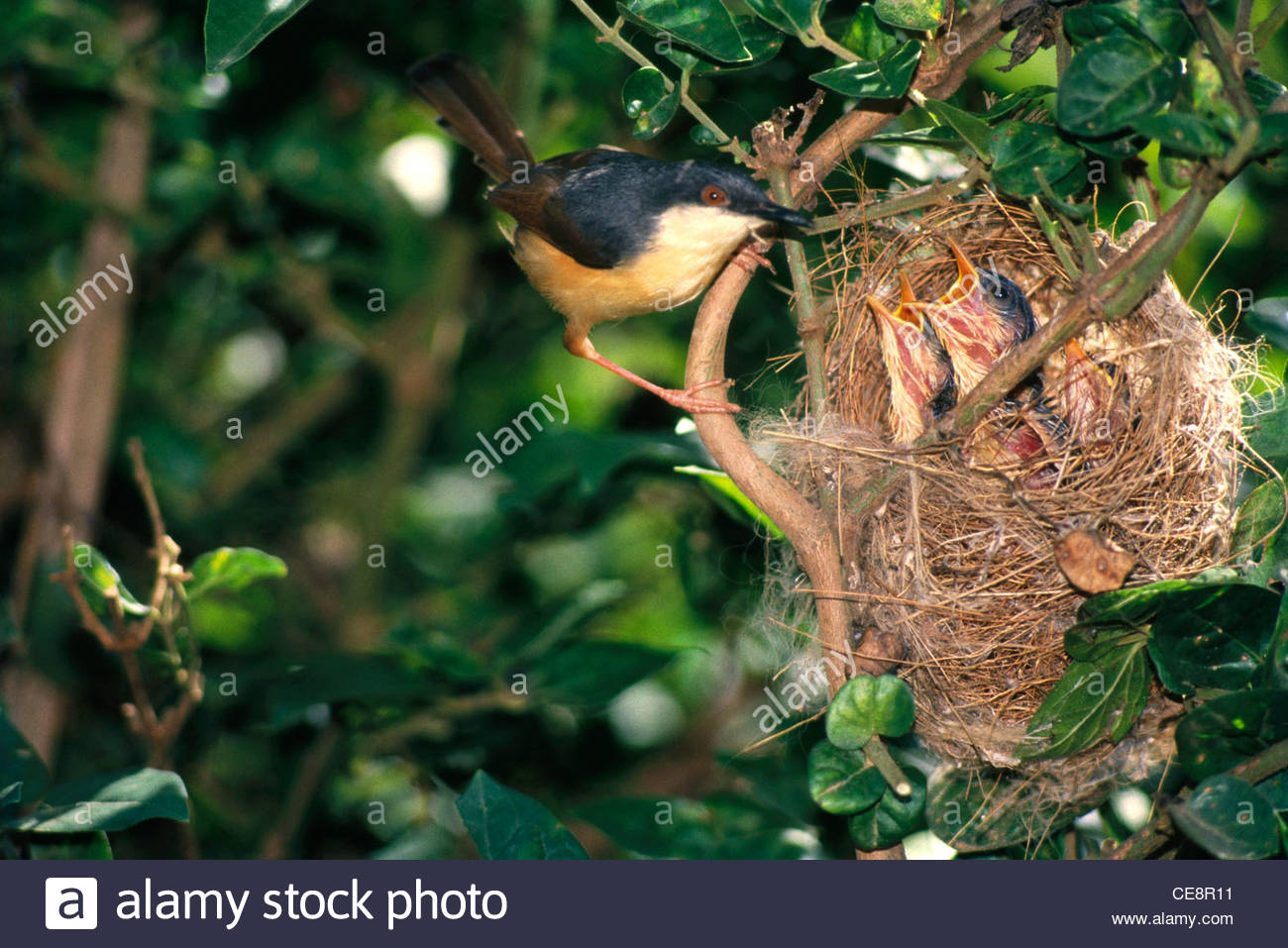 Sna 80418 : Birds Ashy Wren Warbler With Young Ones In Nest Prinia.