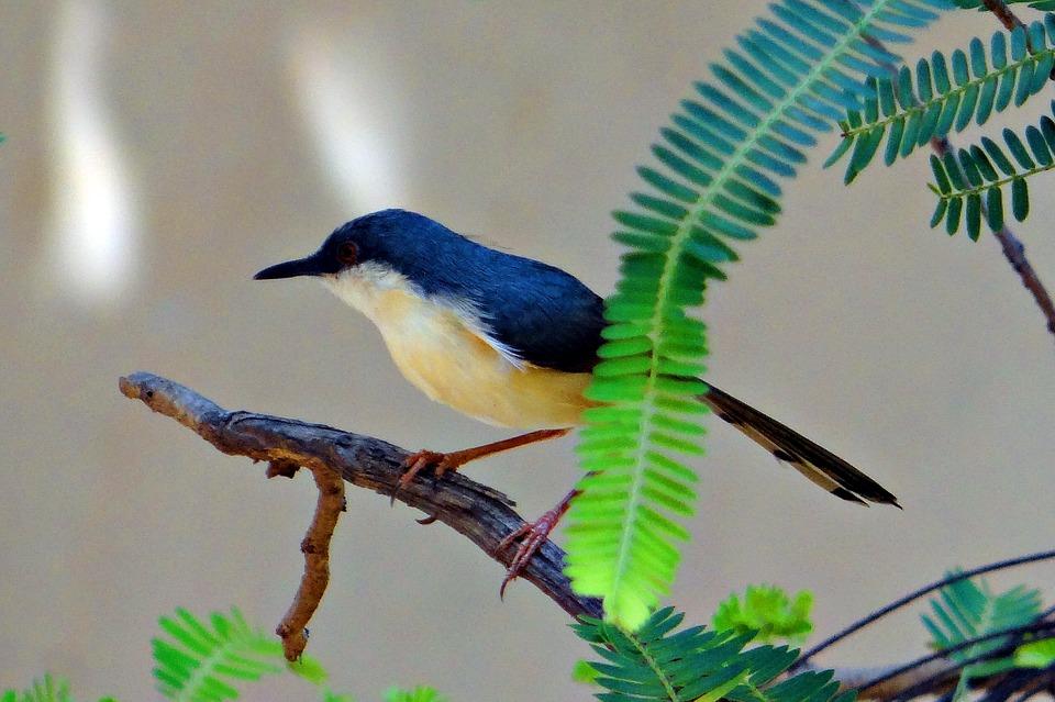 Free photo: Ashy Prinia, Ashy Wren.