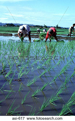 Picture of Paddy Fields Luzon The Philippines Asia asi.