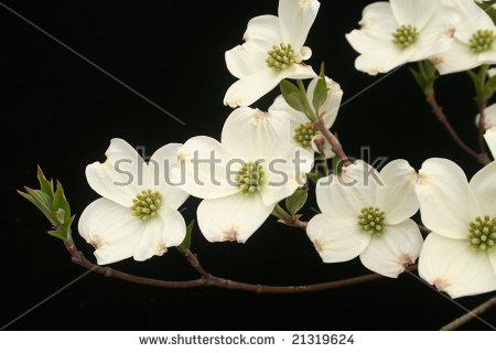 Japanese Flowering Dogwood Stock Photos, Royalty.