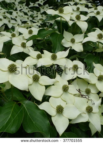 Kousa Dogwood Flowers Stock Photos, Royalty.