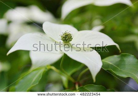 Kousa Dogwood Flowers Stock Photos, Royalty.