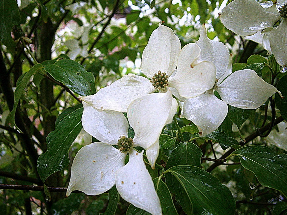 Dogwood, Flower.