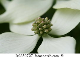 Dogwood Images and Stock Photos. 2,084 dogwood photography and.
