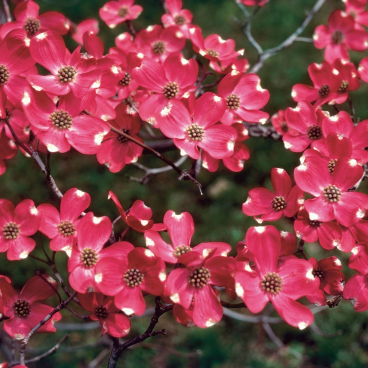 1000+ images about Dogwoods on Pinterest.
