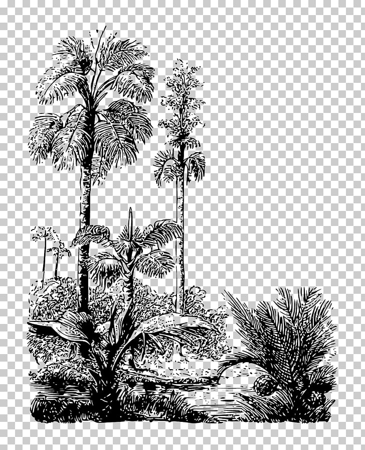 Asian palmyra palm Drawing Arecaceae Pine /m/02csf, jungle.
