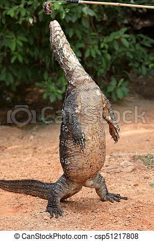 The Asian Water Monitor or water dragon in Sri Lanka.
