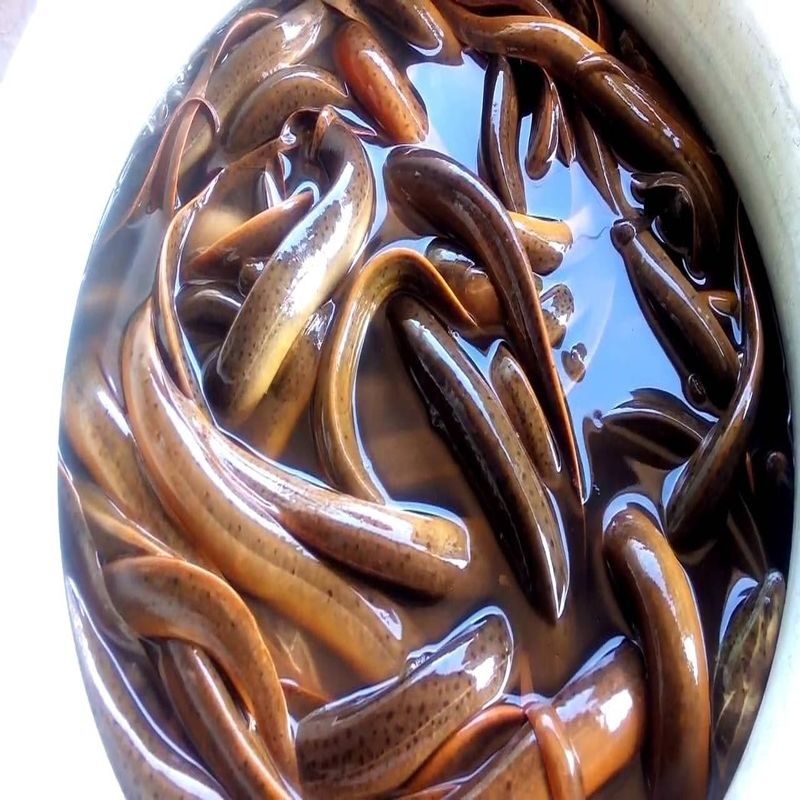 Good Quality Cheap Asian Swamp Eel Fish.