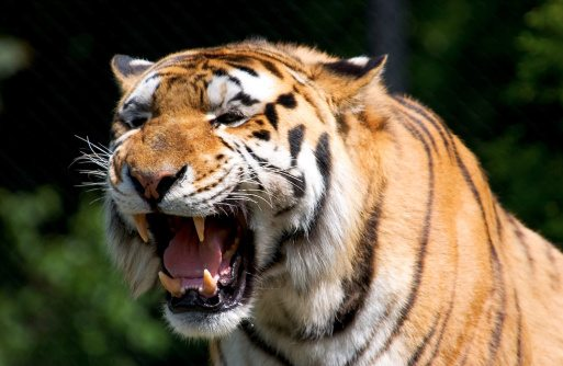 10 tiger facts!.