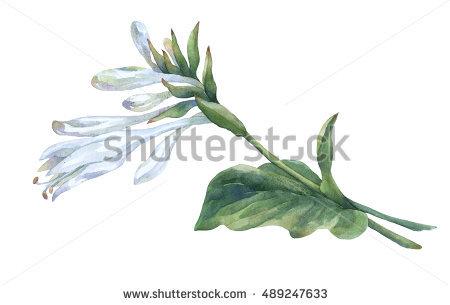Asparagaceae Stock Photos, Royalty.
