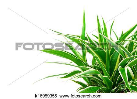 Stock Image of Chlorophytum.