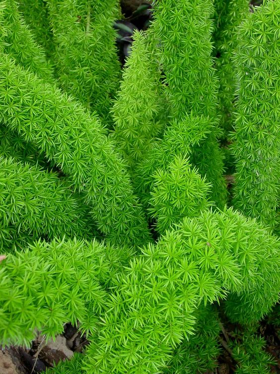 Asparagus densiflorus 'Myersii'.