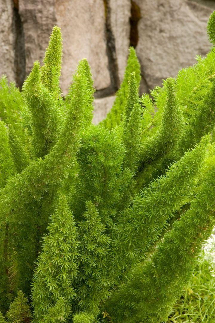 Asparagus densiflorus clipart #12