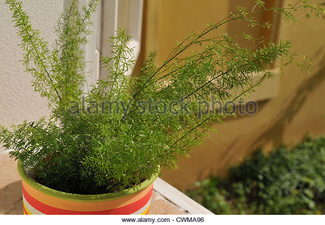 Asparagus Densiflorus Stock Photos & Asparagus Densiflorus Stock.
