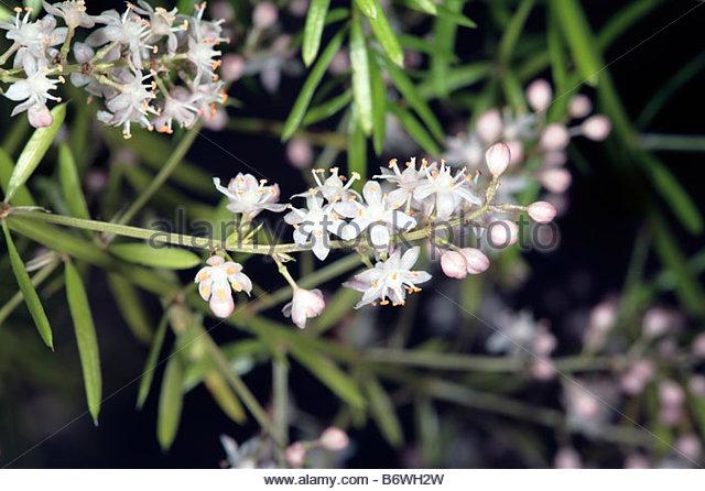Asparagus Fern Asparagus Densiflorus Stock Photos & Asparagus Fern.