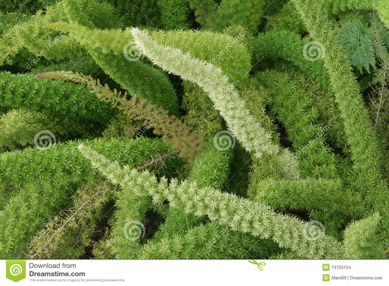 Asparagus Densiflorus Stock Images.