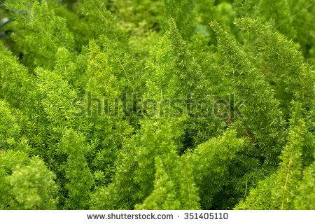 Asparagus Densiflorus Stock Photos, Royalty.