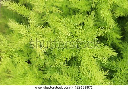 Asparagus Fern Stock Photos, Royalty.
