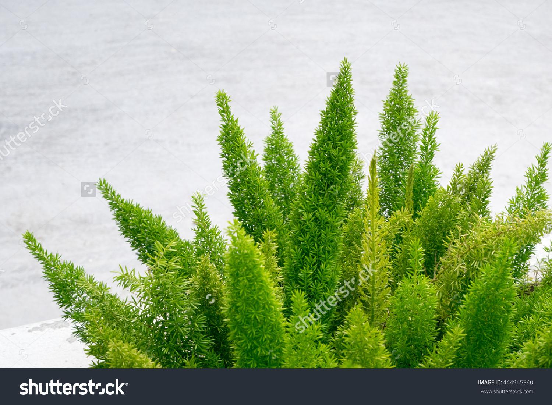 Foxtail Fern (Asparagus Densiflorus (Kunth) Jessop. 'Myers.