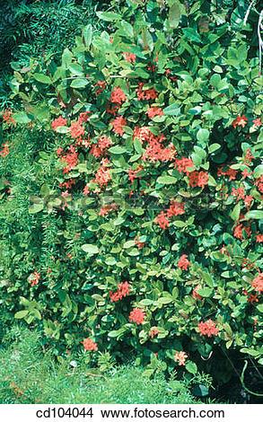 Stock Photo of Ixora hedge and Asparagus Fern (Asparagus sprengeri.
