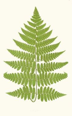 1000+ images about Clip Fern on Pinterest.