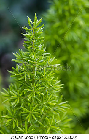 Stock Photography of Asparagus Fern, foxtail fern..