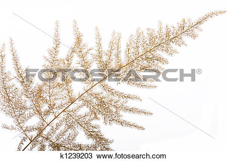 Stock Photo of Withered asparagus fern k1239203.