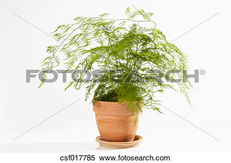 Stock Image of Potted plant of asparagus fern on white background.