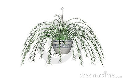 Asparagus Fern Drawing Stock Images.