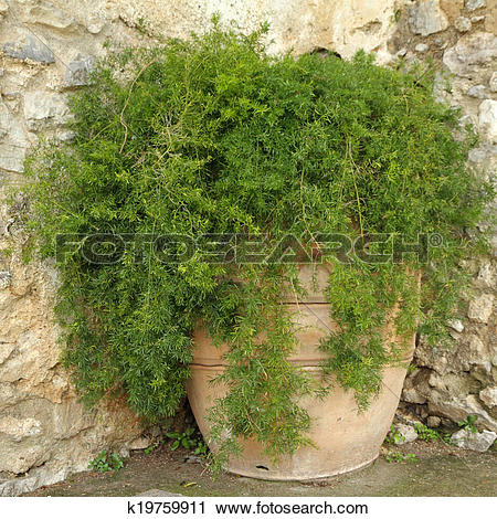 Stock Photography of asparagus fern in terracotta planter on.