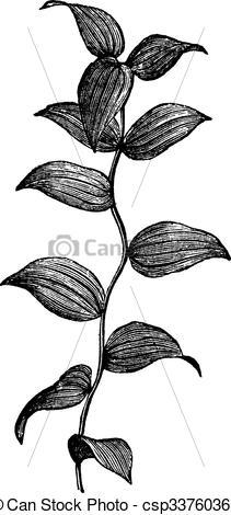 Clip Art Vector of African Asparagus Fern or Asparagus.