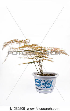 Stock Photograph of Withered asparagus fern k1239209.