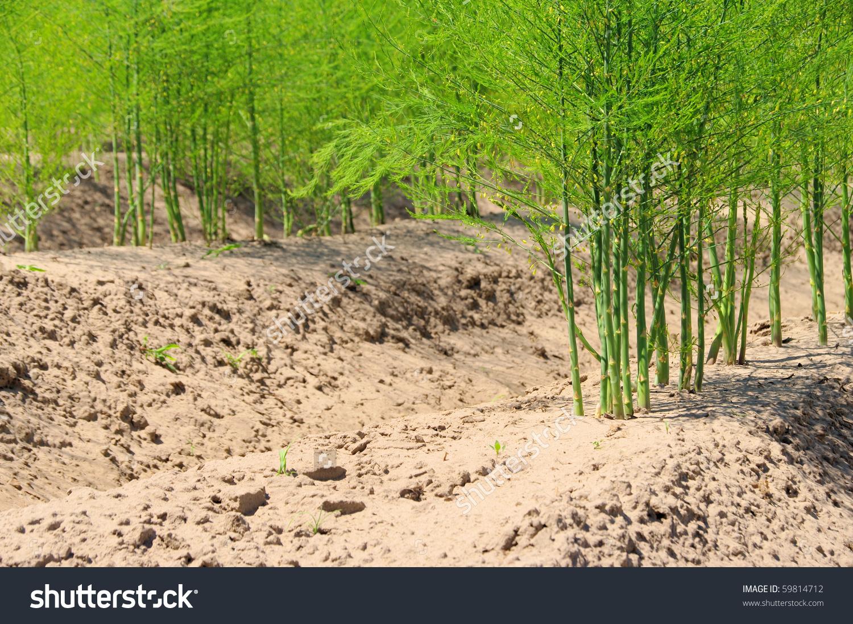 Asparagus Field Stock Photo 59814712.