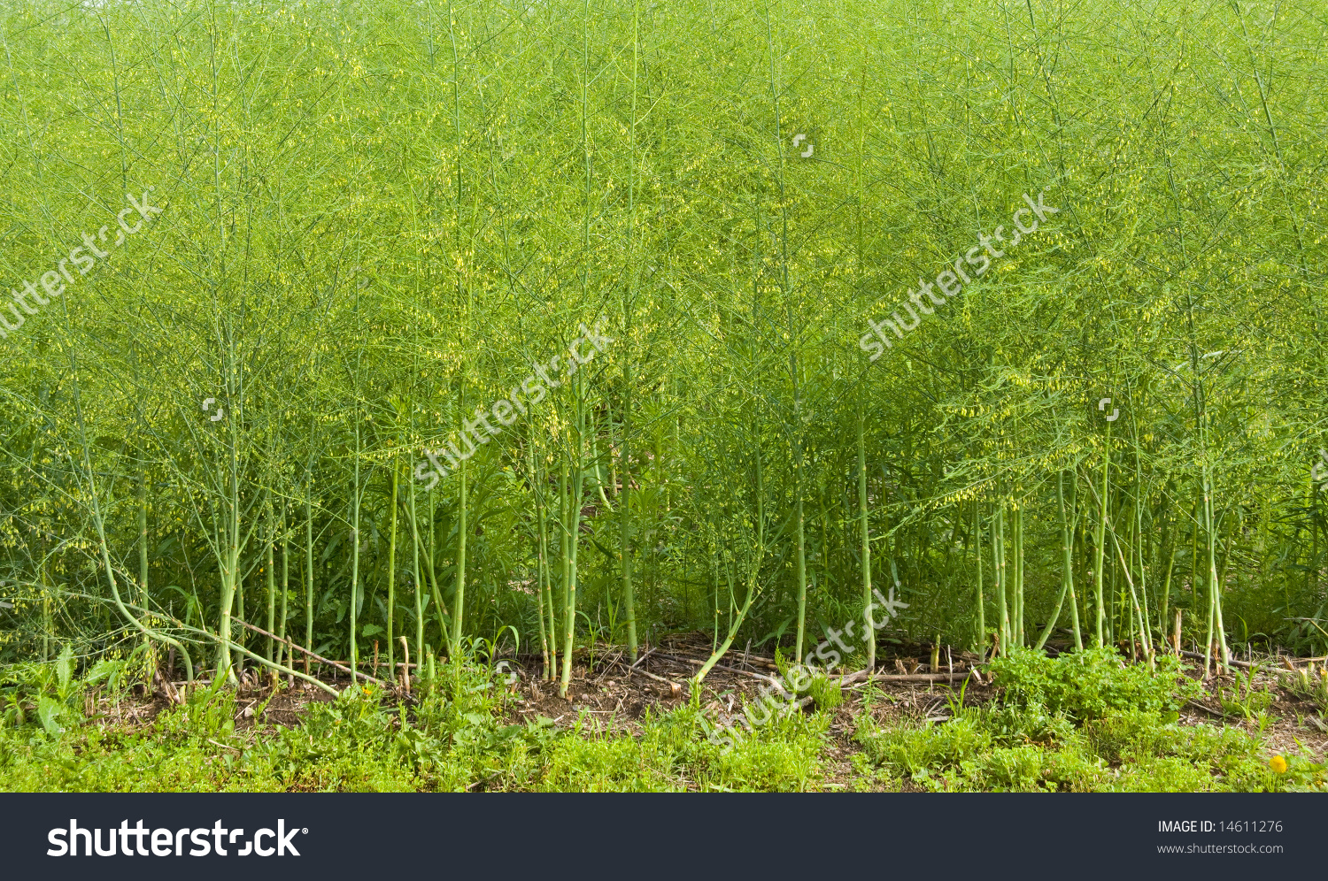 Asparagus Field Close Stock Photo 14611276.