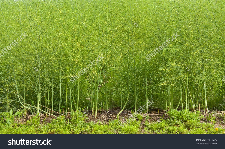 Asparagus field clipart #7