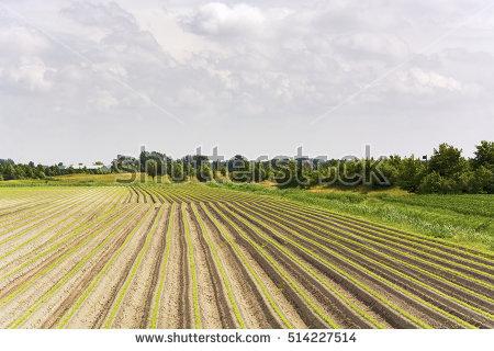Asparagus Field Stock Photos, Royalty.