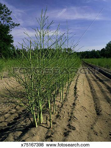 Pictures of asparagus field, on sandy soil, near saintes, central.