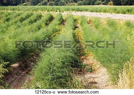 Stock Images of Germany, Asparagus field, close.