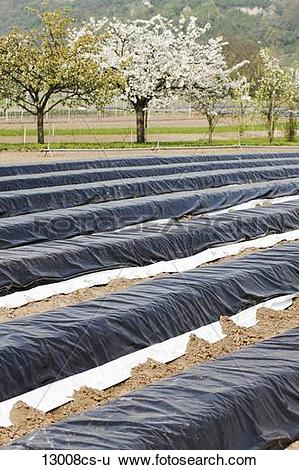 Stock Images of Germany, Asparagus field covered with plastic.