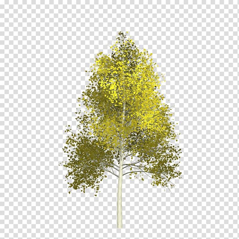 Quaking aspen Branch Calaveras Big Trees State Park, tree.